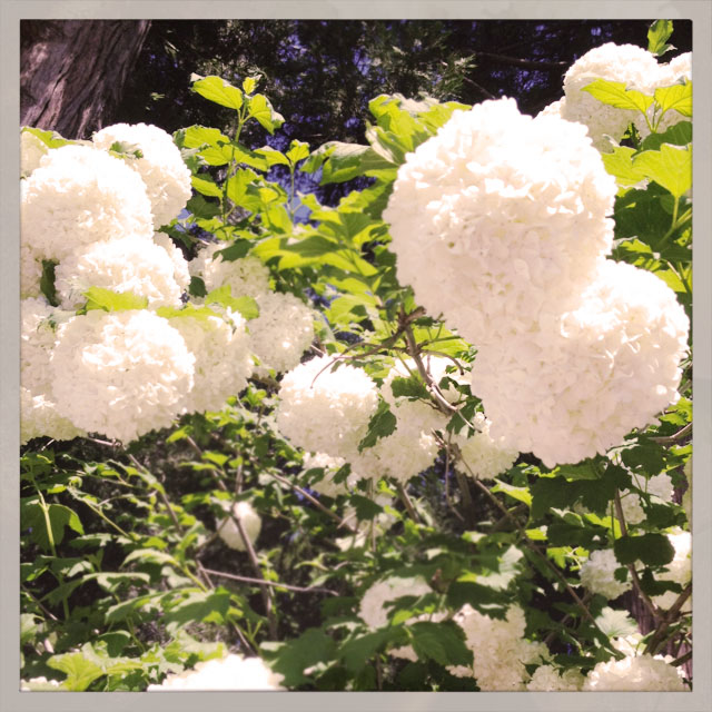 white flower tree, snowballs