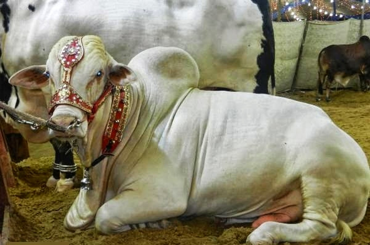 Cute And Beautiful Bakra Eid Cow Wallpaper