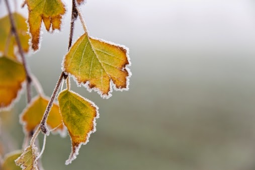 Fall leaves with winter snow