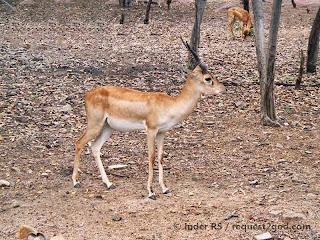 Young Male Black Buck Deer