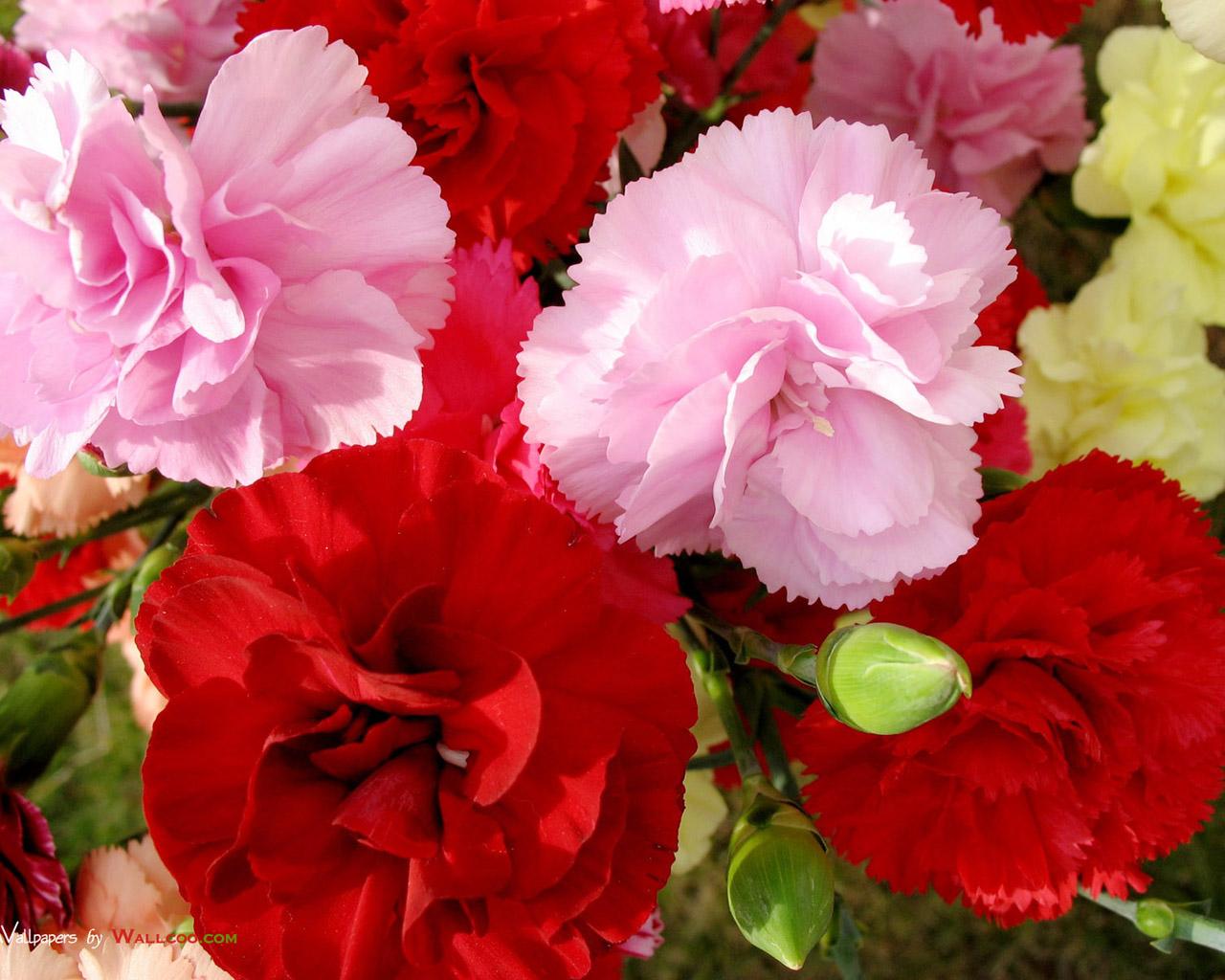 Flowers & Planets carnation flower wallpaper