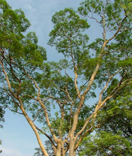 Trees of Arunachala