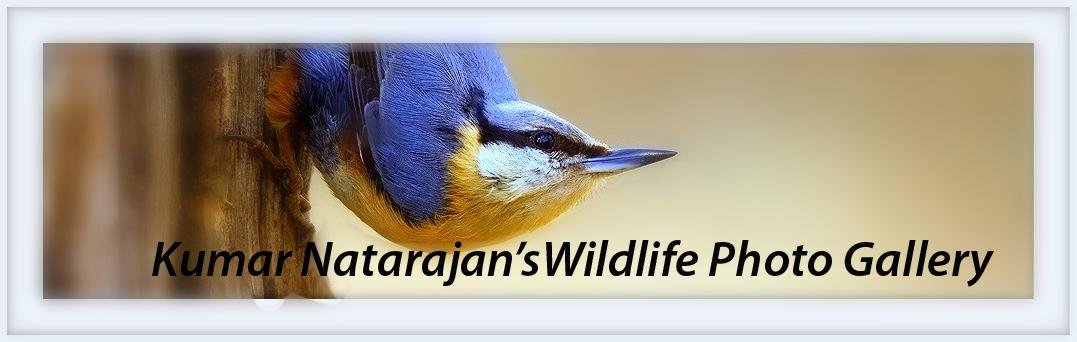 Kumar Natarajan's Wildlife Photo Gallery