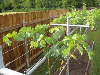 The Trellis System Is Used To Train Vines Grow In A Particular Direction Without Grape Would Simply Crawl At Ground Level