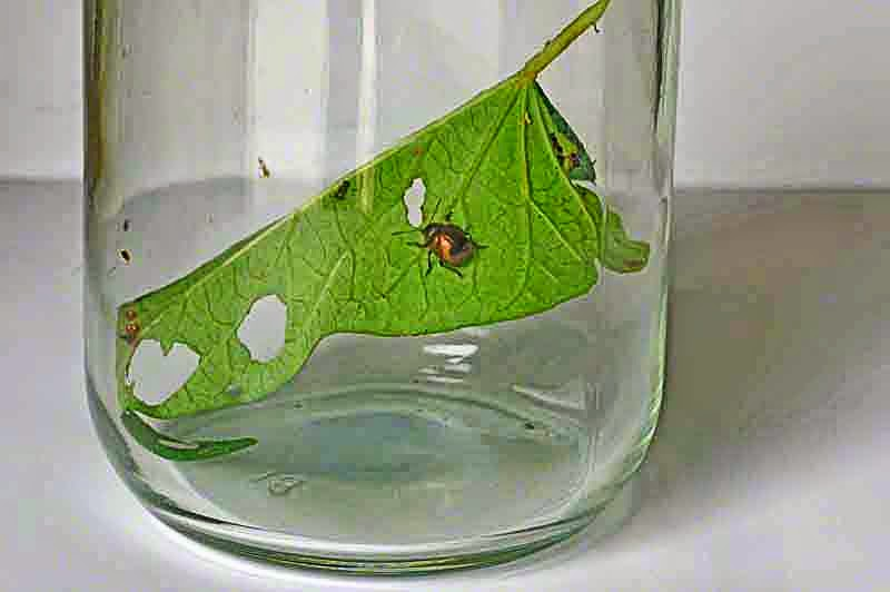 glass jar,beetle,leaf