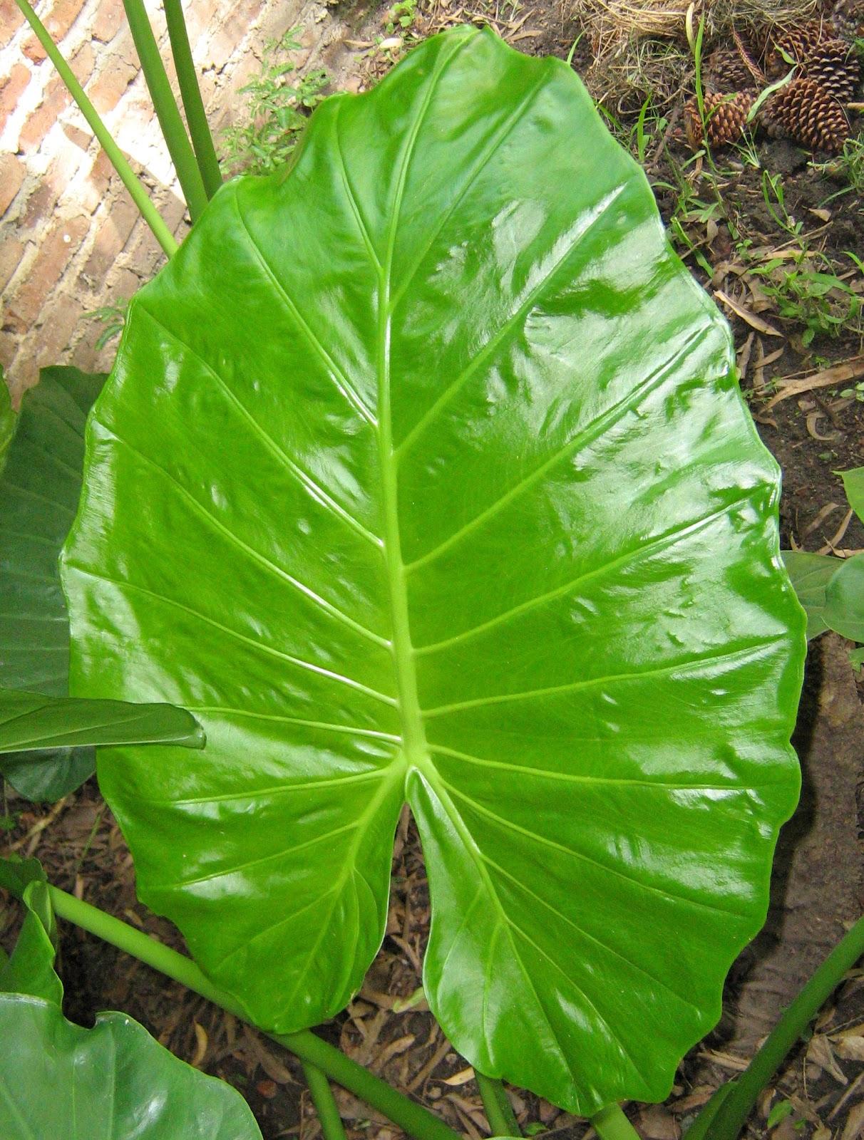c mo cuidar las plantas de hojas grandes