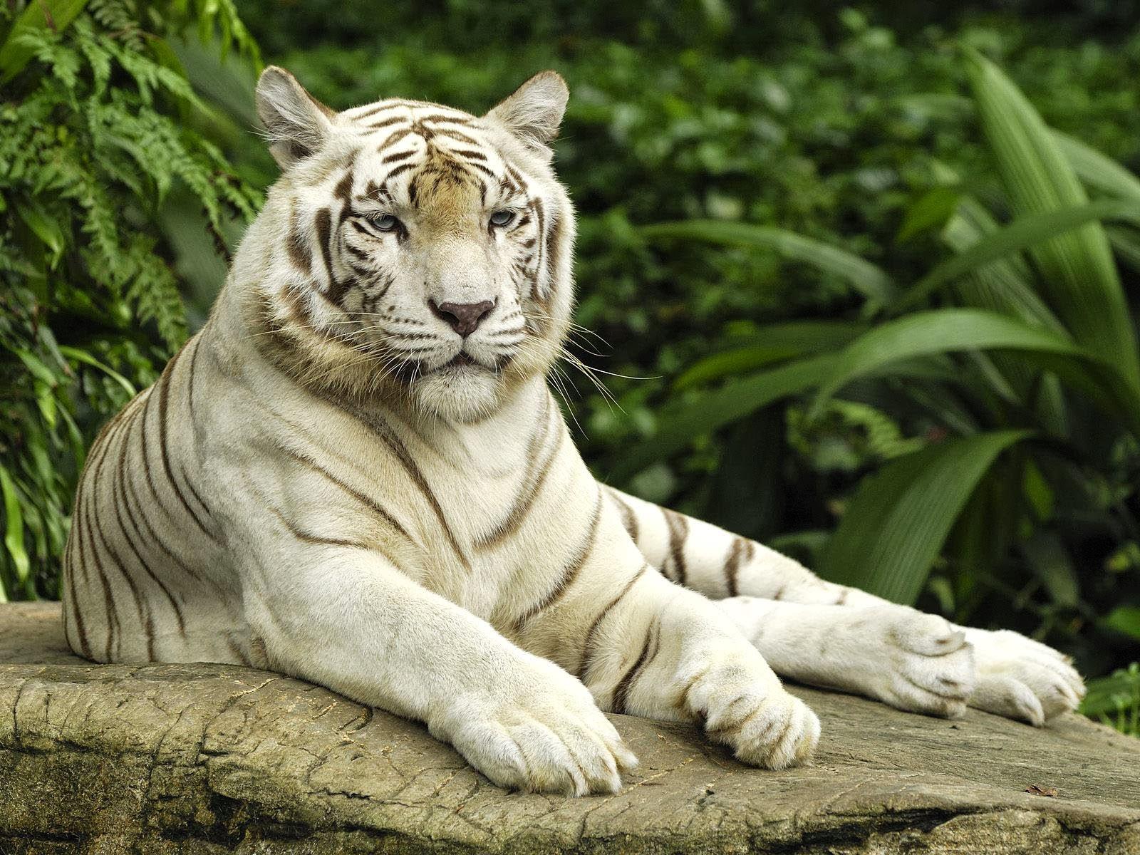 desktop 3d white tiger - photo #3