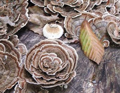 turkeytail fungus