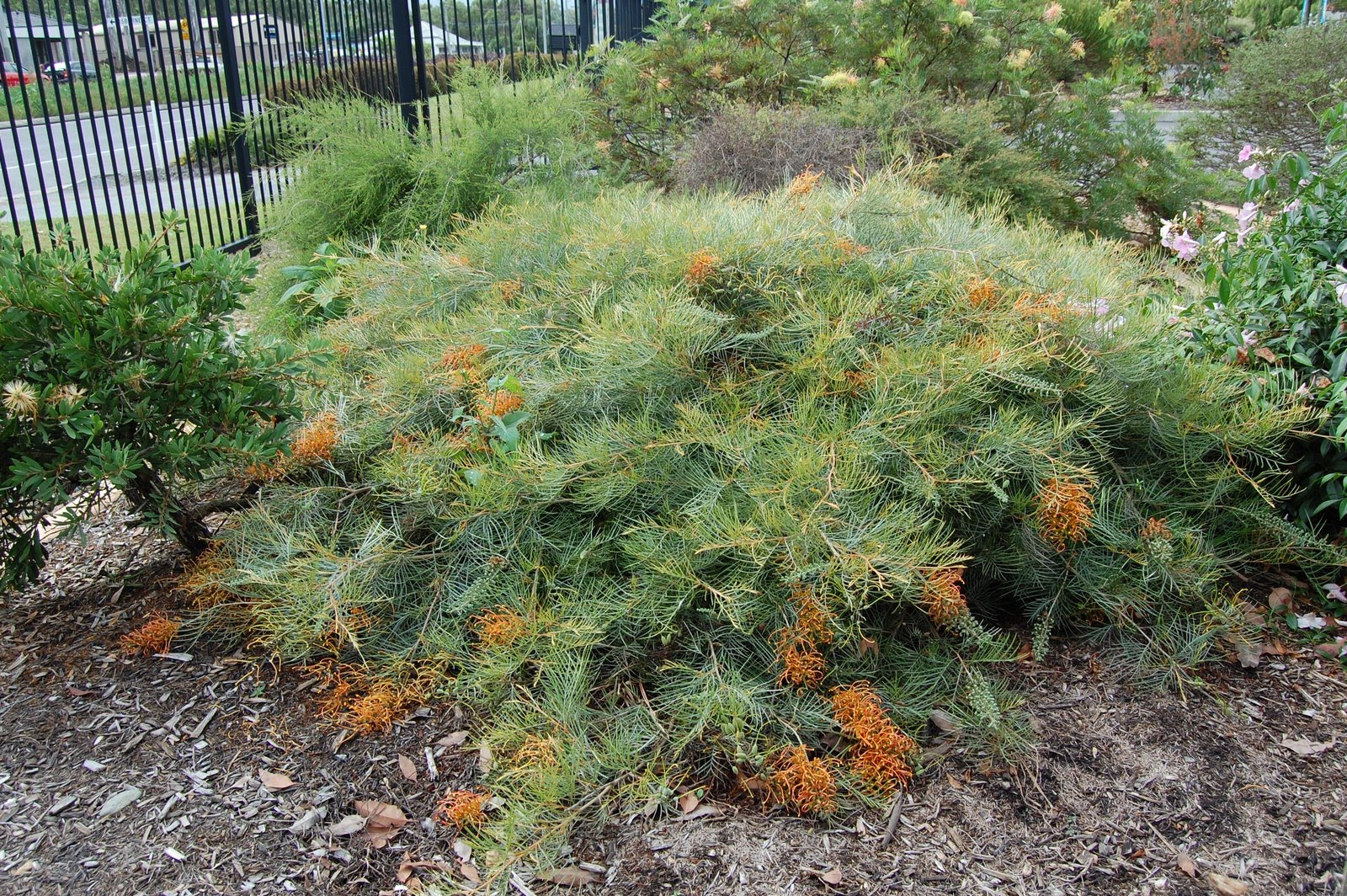 Grevillea Ninderry Sunrise Sister To Cooroora Cascade Looking Great In The Front Gardens Of Nielsen S Native Nursery