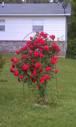 My  revived rose bush