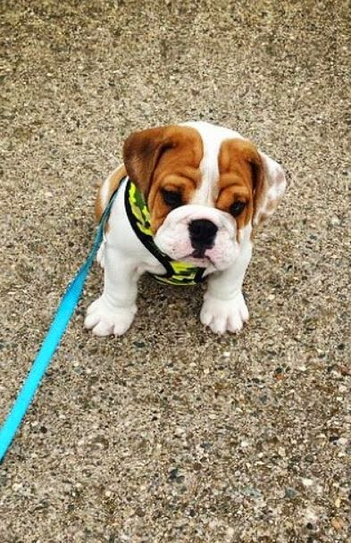 5 very interesting and short facts about bulldogs