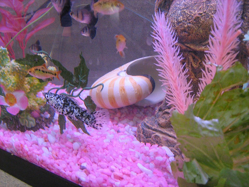 Pink tropical fish for Pink fish tank