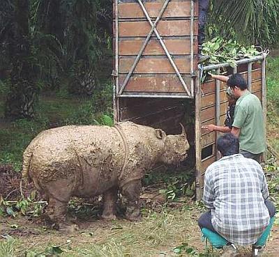 Sumatran Rhinoceros/Sumatran Rhinos (Dicerorhinus sumatrensis)
