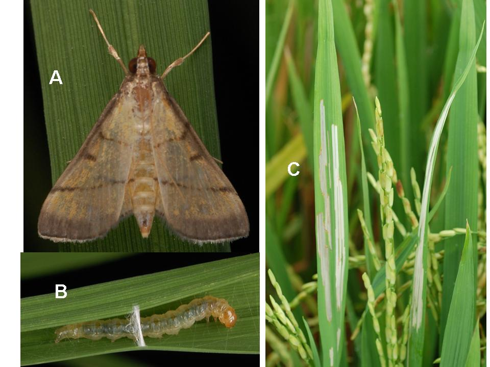Rice Insect Pests Pictures