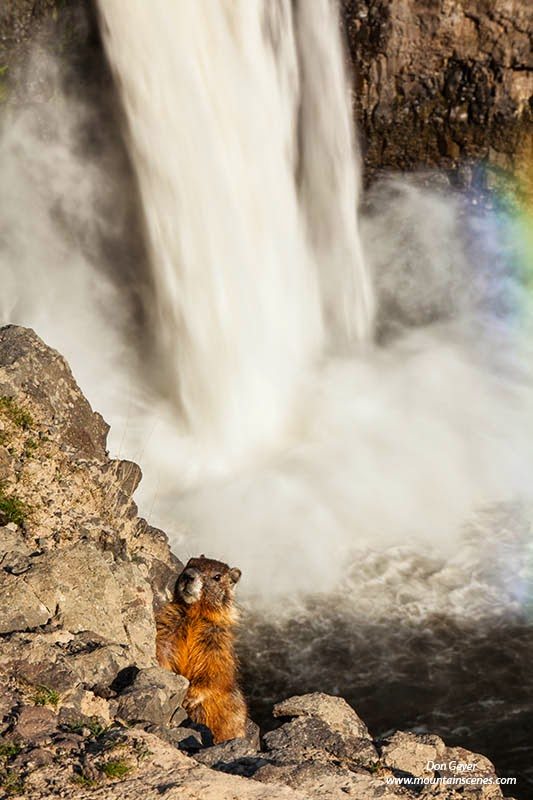 A yellow-bellied marmot stands alert in front of Palouse Falls.