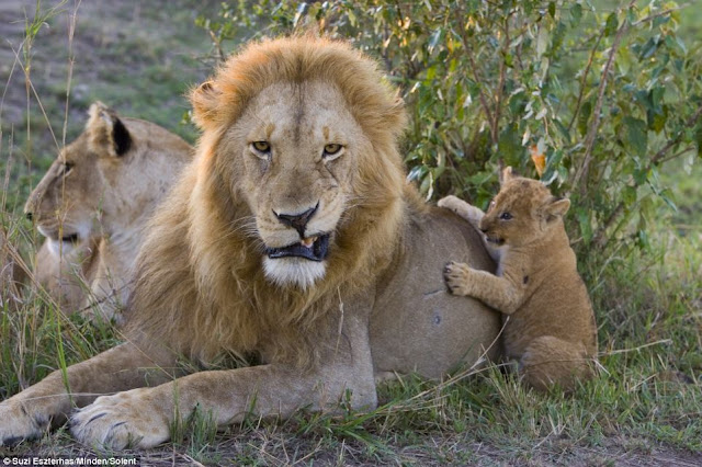 Lion cub meets his dad for the first time on Kenya, playing with dad