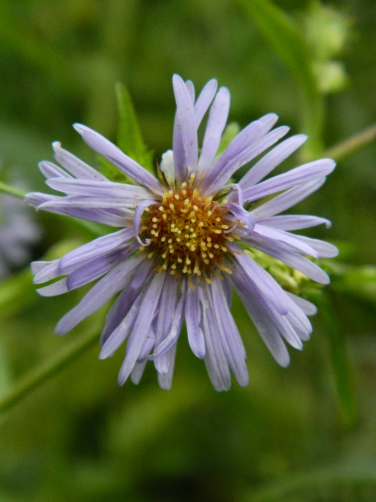 Sky Blue Aster Aster oolentangiensis by garden muses not another Toronto gardening blog