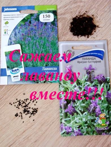 Посадить лаванду в домашних условиях - Naturapura.ru