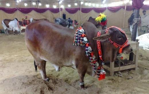 شاهدوا بالصور مهرجان ملكة جمال البقر في باكستان