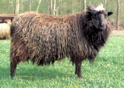 sheep pics