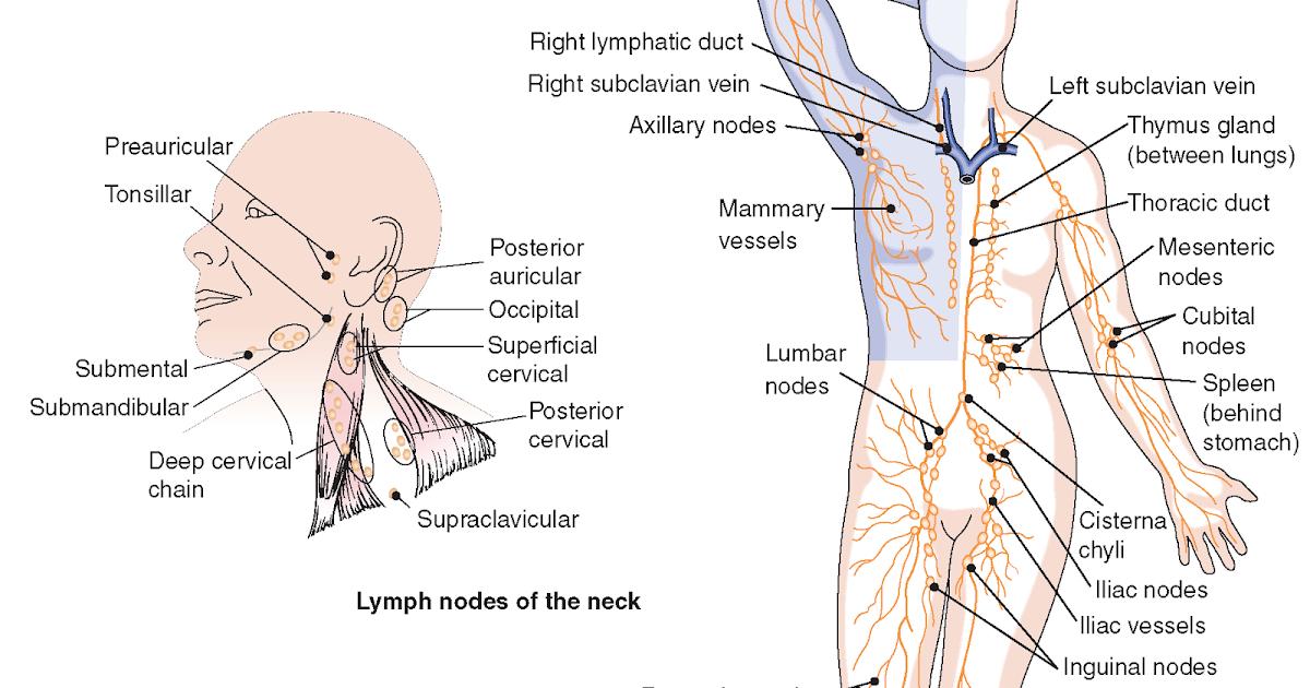 Dorable Iliac Chain Adenopathy Ideas - Anatomy And Physiology ...