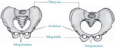 Tulang pinggul pria dan tulang pinggul wanita