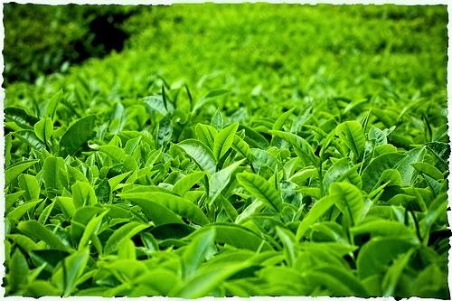 manfaat daun teh