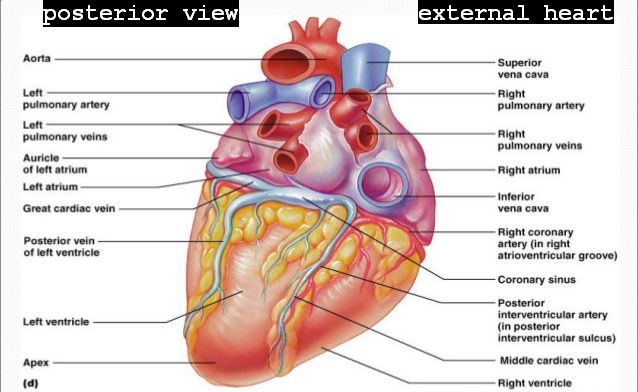 Biology diagramsimagespictures of human anatomy and physiology heart external structuregross anatomy of heart posterior surface view ccuart Images