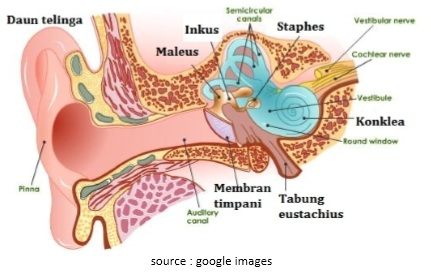 Anatomi dan Fungsi Telinga pada Manusia