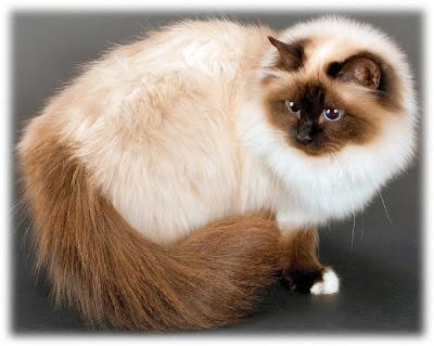El Gato Birmano