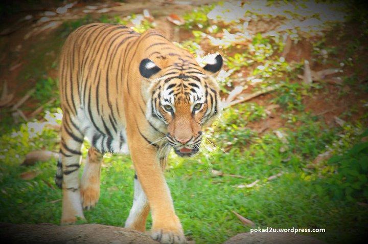 Gubuk Kecil Kembara Jalanan: Harimau Malaya Jadi-Jadian