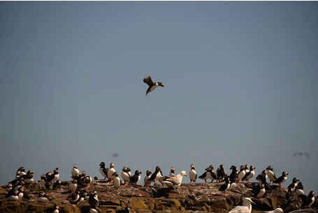بالصور: طيور البفن في جزر فارن قبالة الساحل الشمالي الشرقي لإنجلترا
