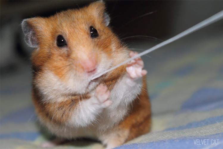 hamster comun fotografia foto