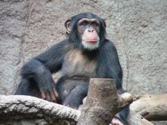 Study shows chimps capable of insightful reasoning ability
