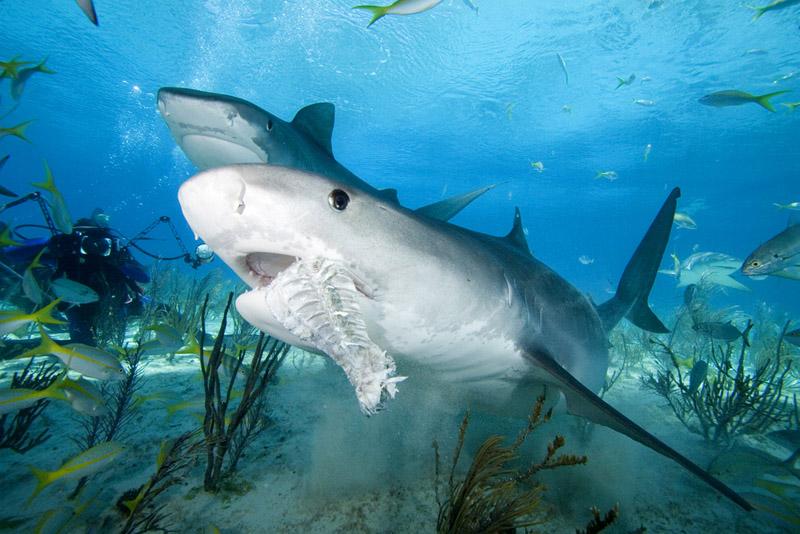 how to get to tigr shark in deeep.io