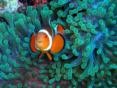 أجمل 10 أسماك ملونة في عالم البحار '' بالصور '' Clownfish2.jpg