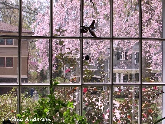 Picture of a cherry blossom tree taking through a window.