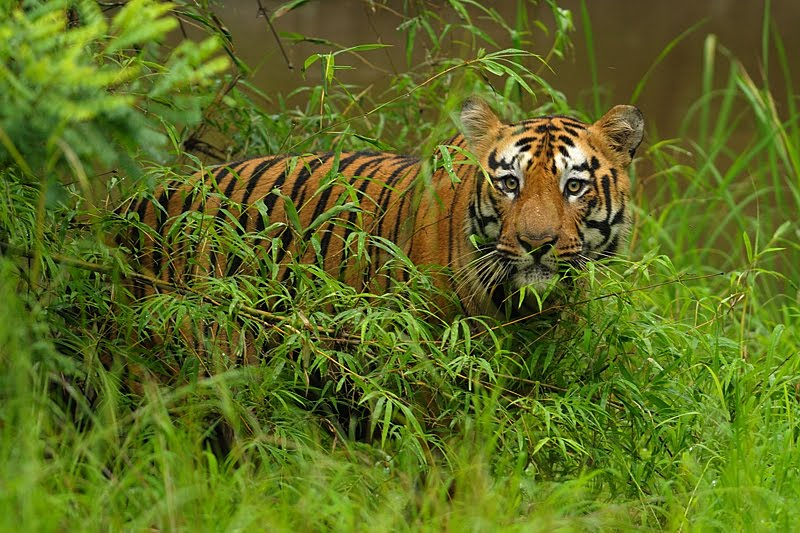 Tadoba: National Park