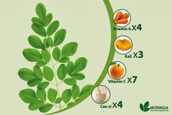 Moringa Oleifera Cây Chùm ngây - xào thịt bò,Trị u xơ tuyến tiền liệt, cảm sốt, ban sởi