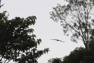 Helmeted Hornbill (Rhinoplax vigil)