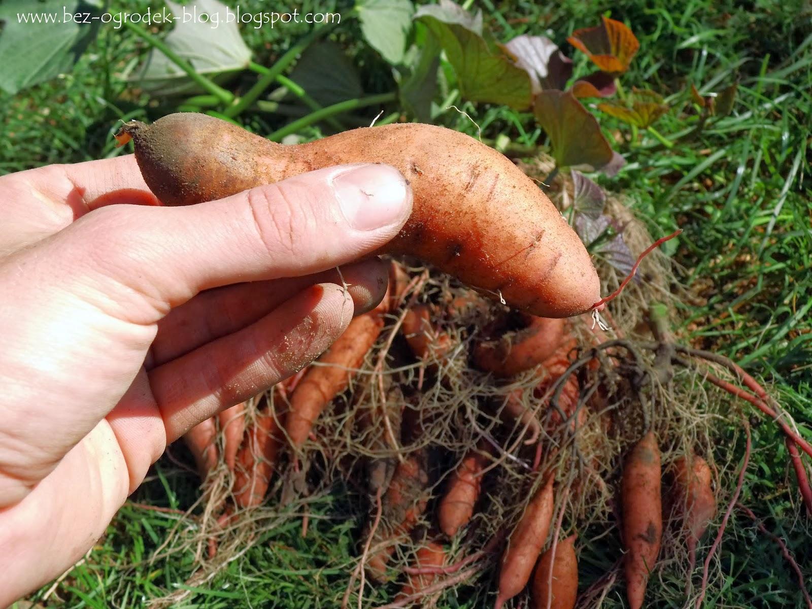 słodki ziemniak czyli wilec ziemniaczany lub patat