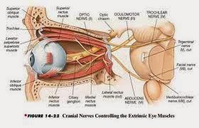 Gambar struktur syaraf mata