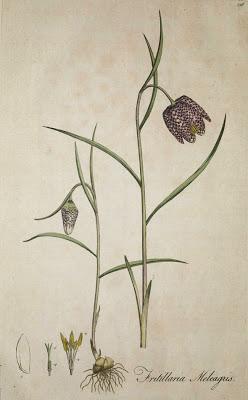 Fritillaria meleagris L., ботанический рисунок