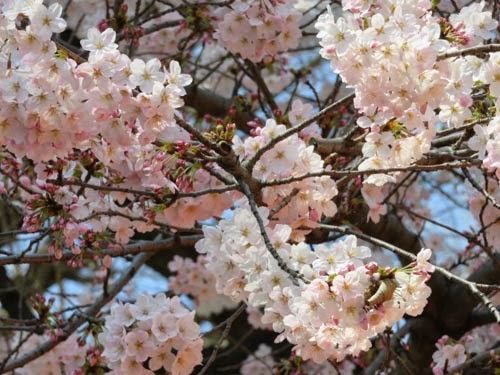 靖国神社の桜01