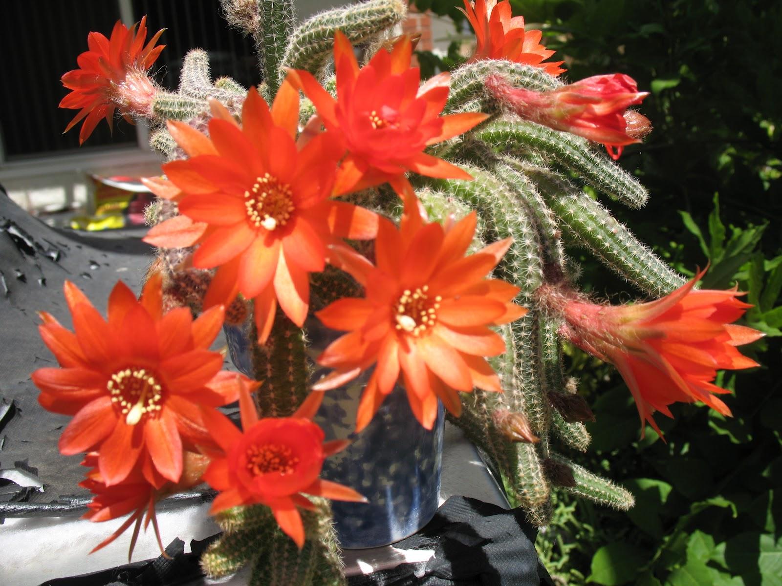 Very Large RedOrange Bloom Color Peanut Cactus 2
