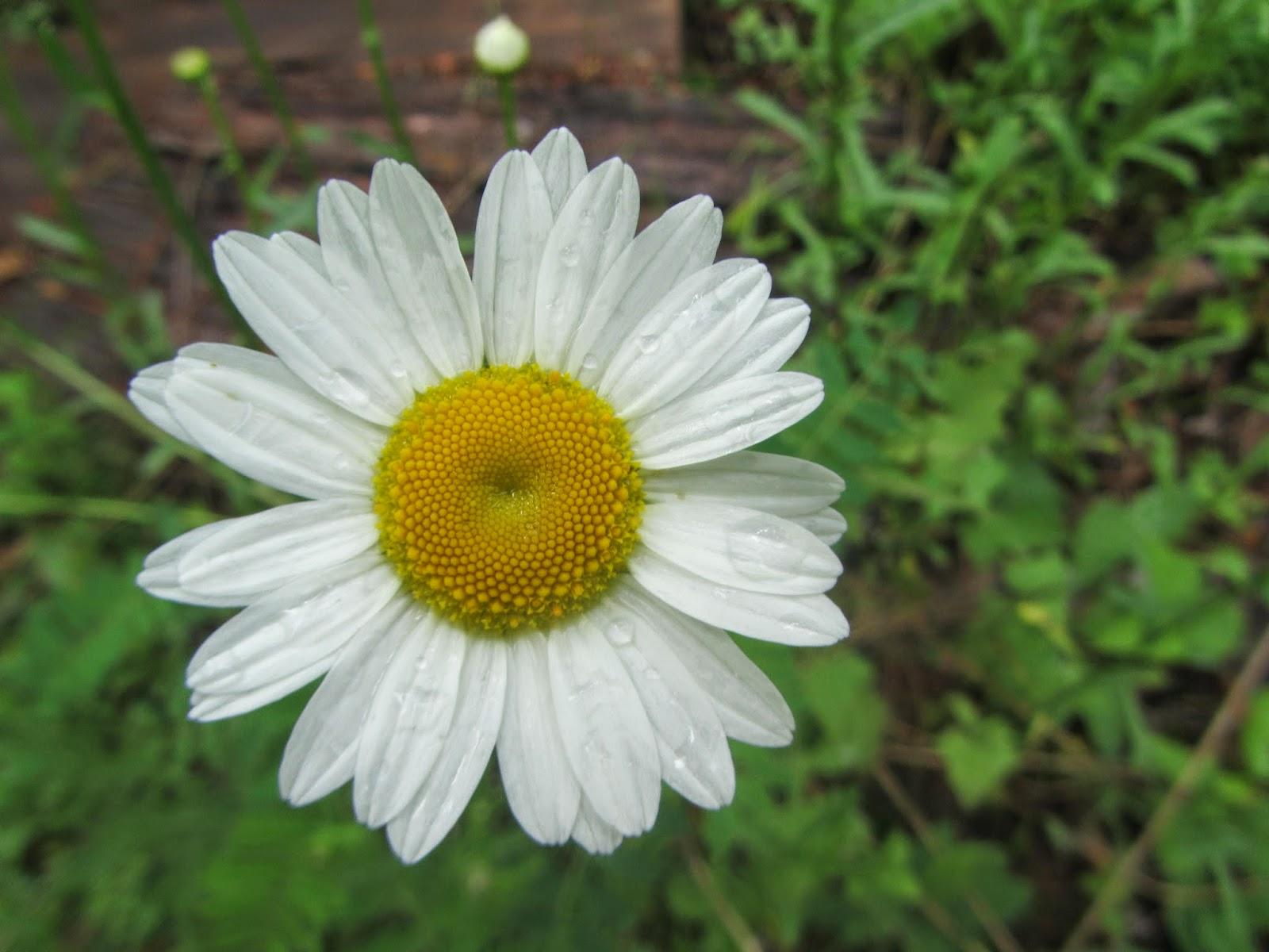 Fresh picked Daisy after the rain in North Idaho