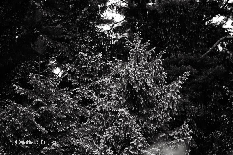 black and white photo of a spruce