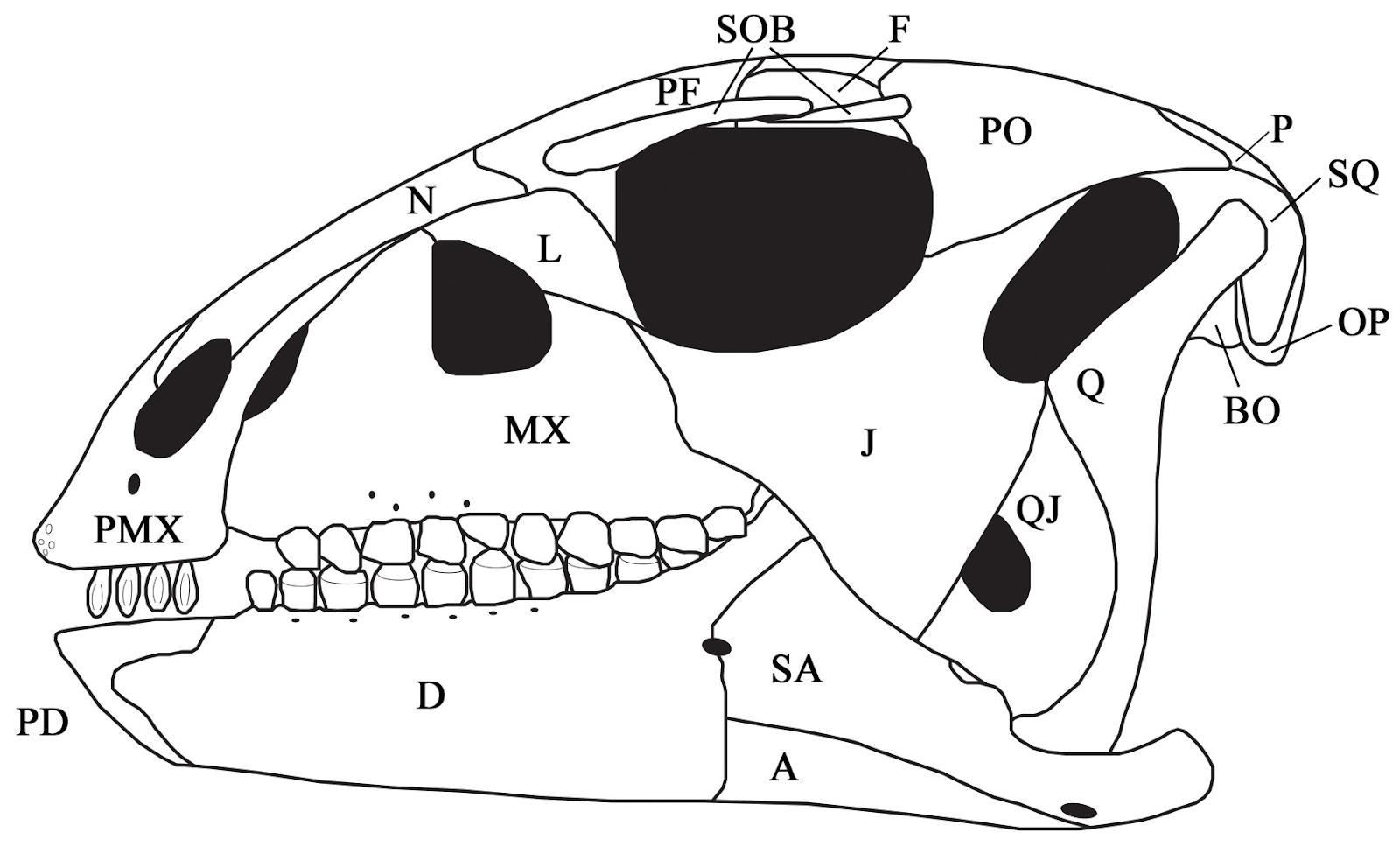 Convolosaurus marri
