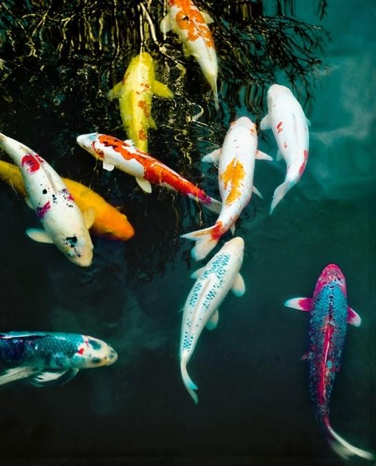 Koi fish pez