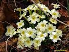 """Exemplar de prímula o primavera. Autor: Francesc """"Caminaire"""""""